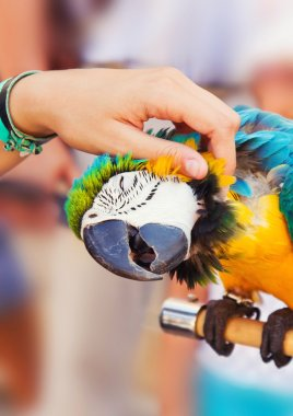 Human hand petting a blue-and-yellow Macaw (Ara ararauna)