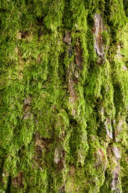 Tree bark covered with green moss