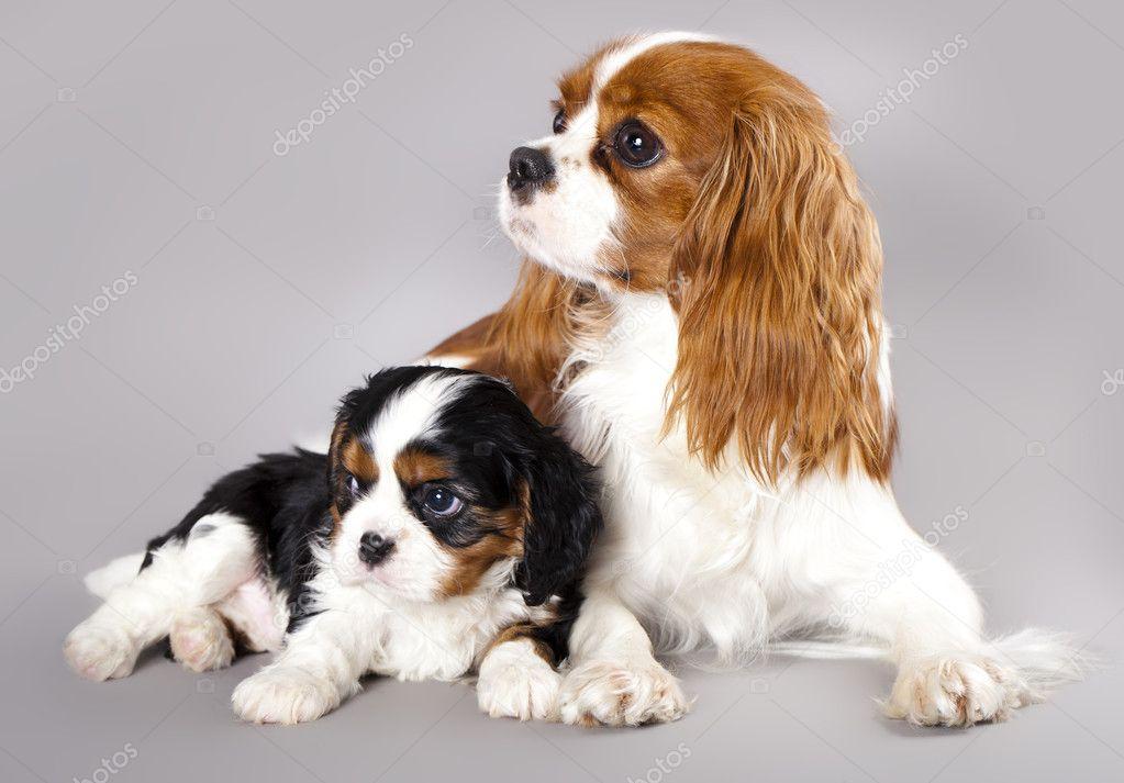 Cavalier king charles spaniel puppies stock photo lilunli 8038616 cavalier king charles spaniel puppies stock photo altavistaventures Image collections