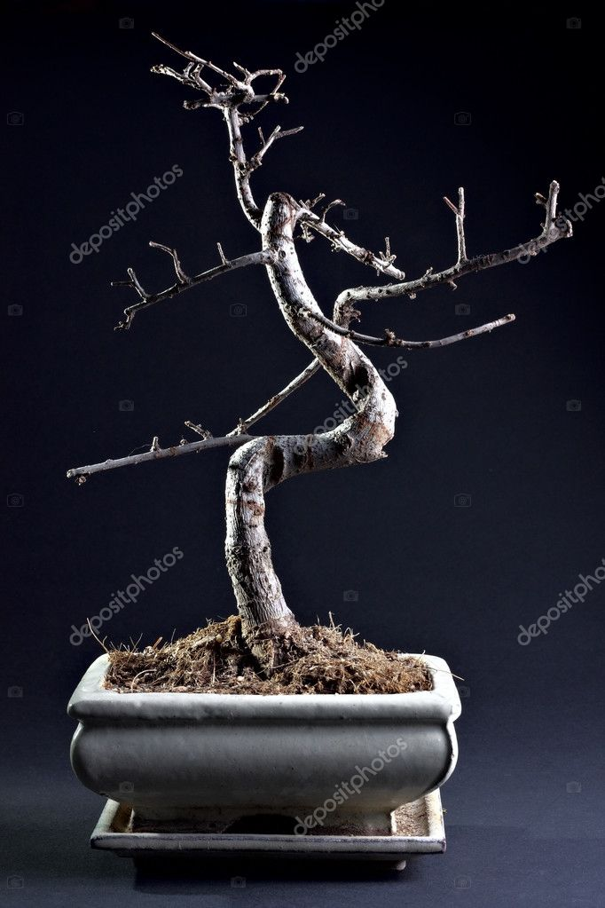 Little bonsai without leaves