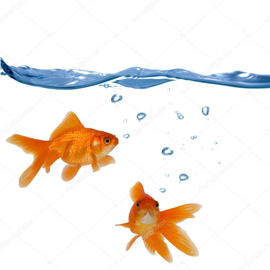 Due pesci rossi foto stock enika100 10181448 for Vaschetta pesci rossi offerte