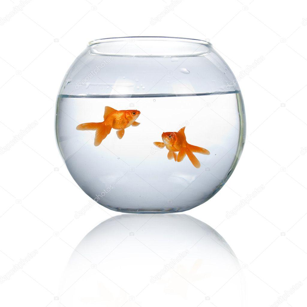 Due pesci rossi in un acquario foto stock enika100 for Pesci rossi prezzo