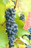 Fotografie Blue grapes
