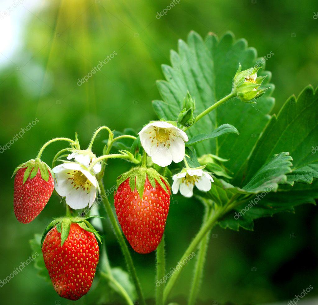 Bush of strawberry