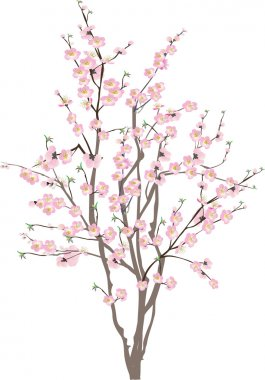 isolated cherry tree with pink flowers