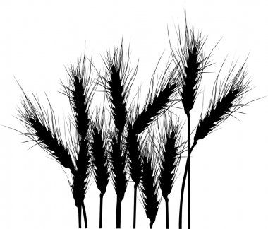 wheat silhouettes isolated on white