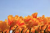 egy kis piros sárga tulipánok