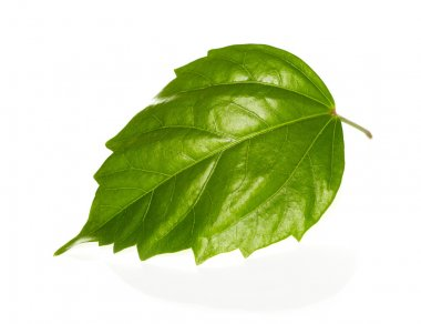 Isolated leaf green