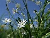 Mezei virágok fehér