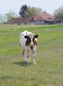 kráva na louce