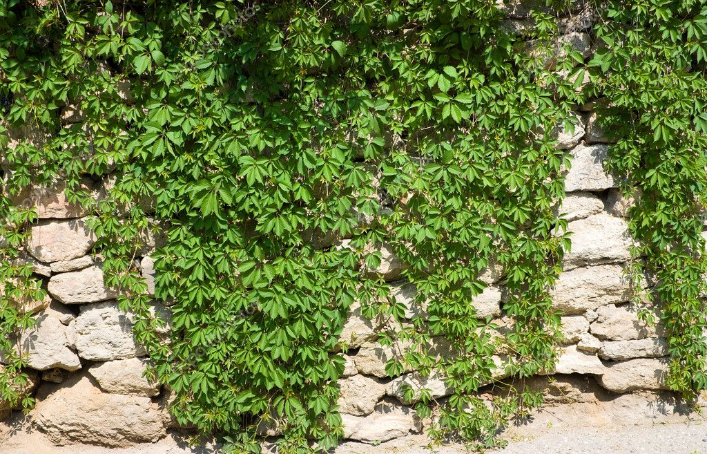 Stone wall with wild grapes