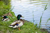 Fotografie Duck male on lake shore