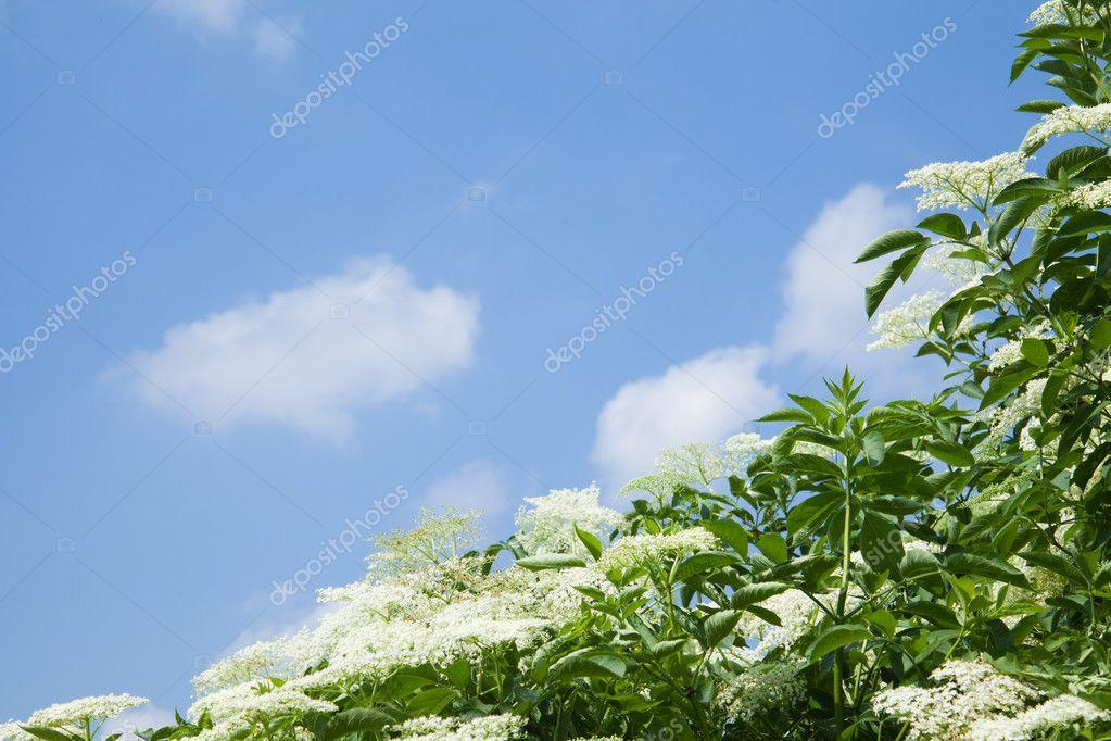 Elderberry bush against blue sky