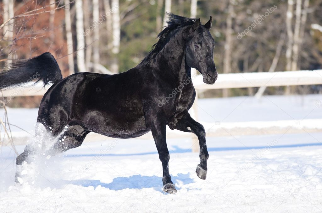 Black Horse Playing In Snow Black Horse Portrait In Motion On The Snow Stock Photo C Vikarus 10016912