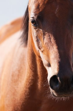 Bay arabian horse portrait in front focus