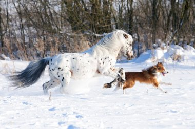 Appaloosa pony and red border collie runs gallop in winter