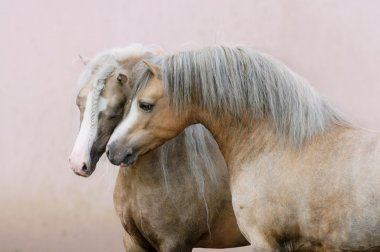Two ponies in love