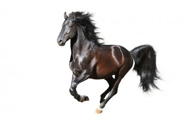 Black Kladruby horse runs gallop on the white background