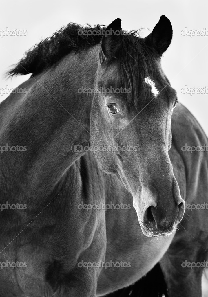Black horse portrait on grey background, black and white photogr