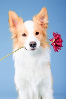 Red border collie, trick with red flower