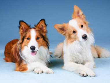 Two border collies in a studio, training dogs