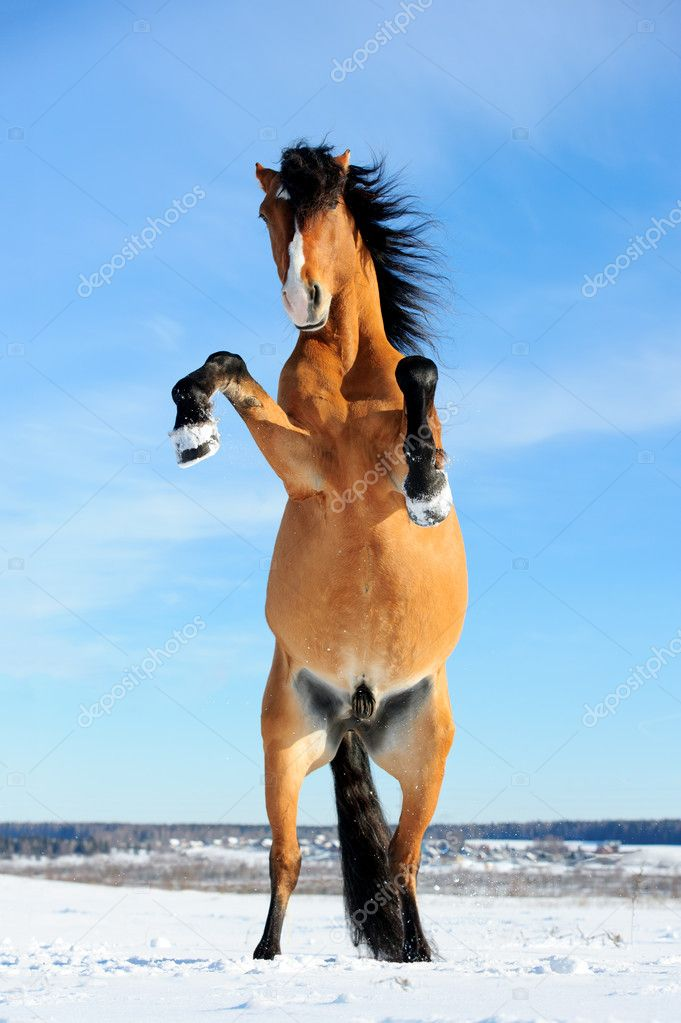 Bay horse rearing up front view winter stock photo vikarus bay horse rearing up front view winter time photo by vikarus sciox Choice Image