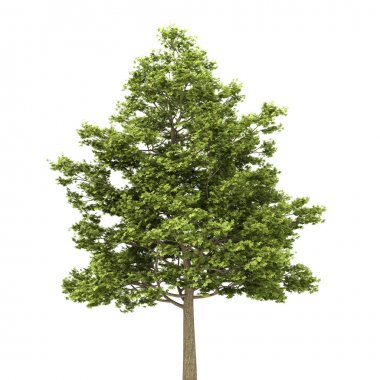 Field maple tree isolated on white background