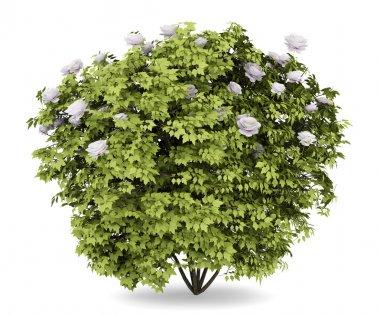 Peony bush isolated on white background