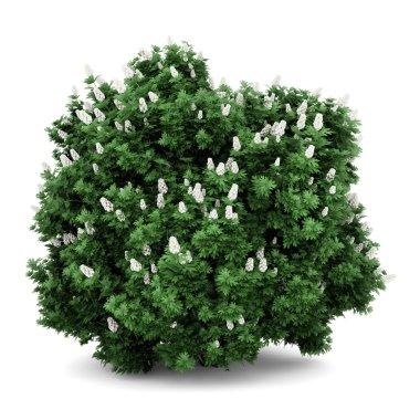 Oakleaf hydrangea bush isolated on white background