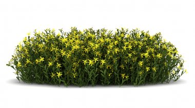 Broom flowers isolated on white background