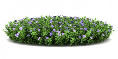 Dwarf periwinkle flowers isolated on white background