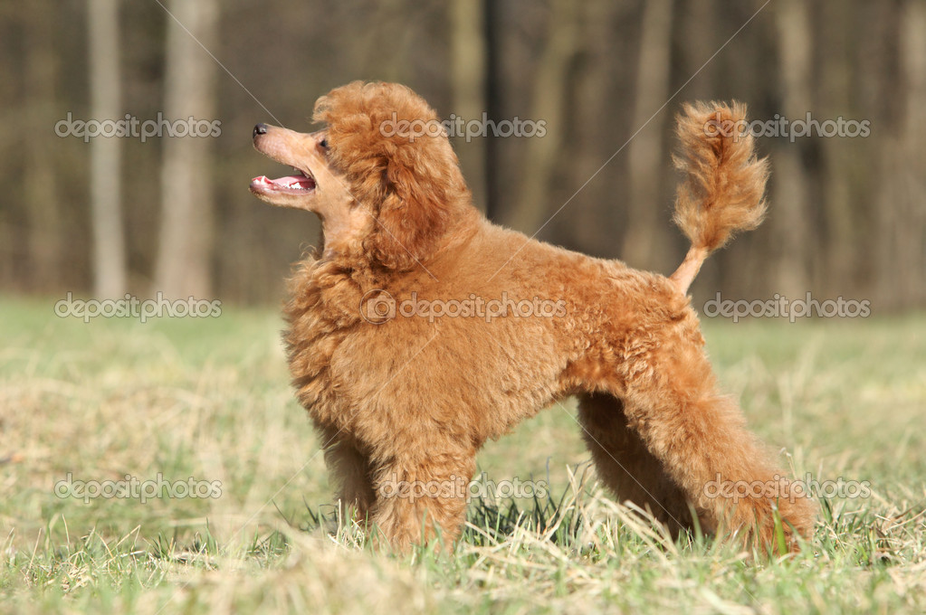 Toy poodle puppy on green grass