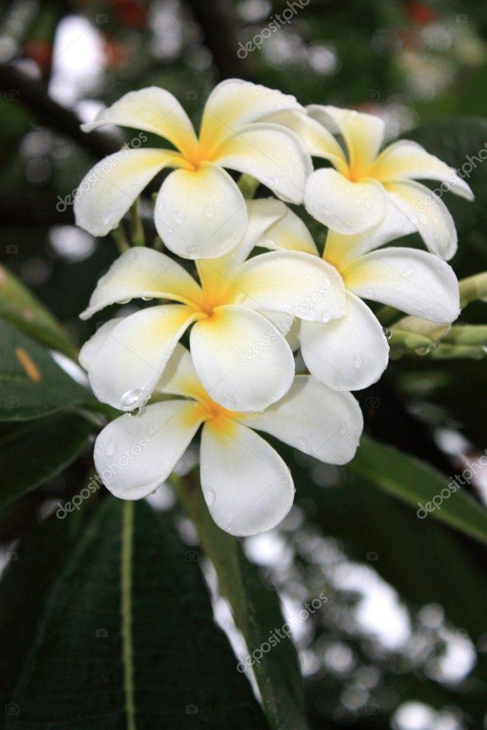 fleurs blanches exotiques et feuilles vertes photographie ego450 8788656. Black Bedroom Furniture Sets. Home Design Ideas