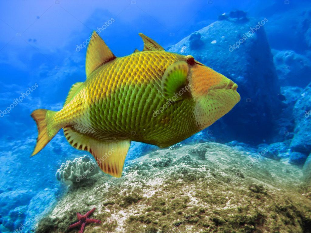 Indian ocean. Underwater world. Triggerfish