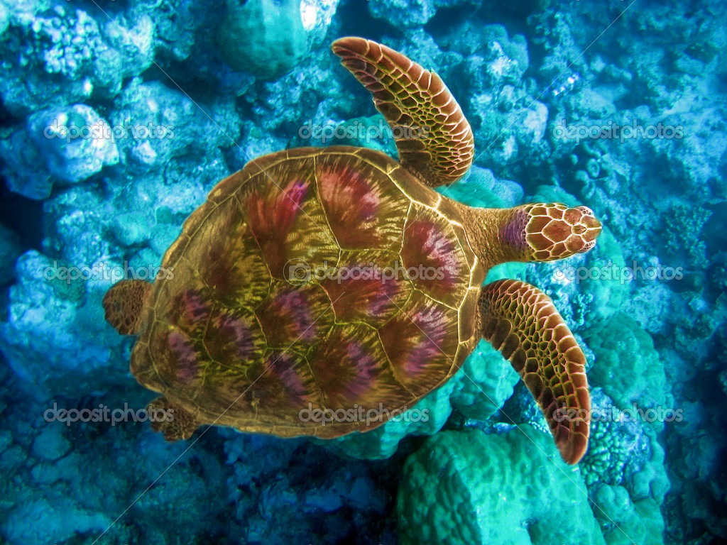 Indian ocean. Underwater world- Turtle in stones