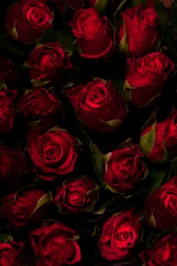 Red roses on a black background. Low key.