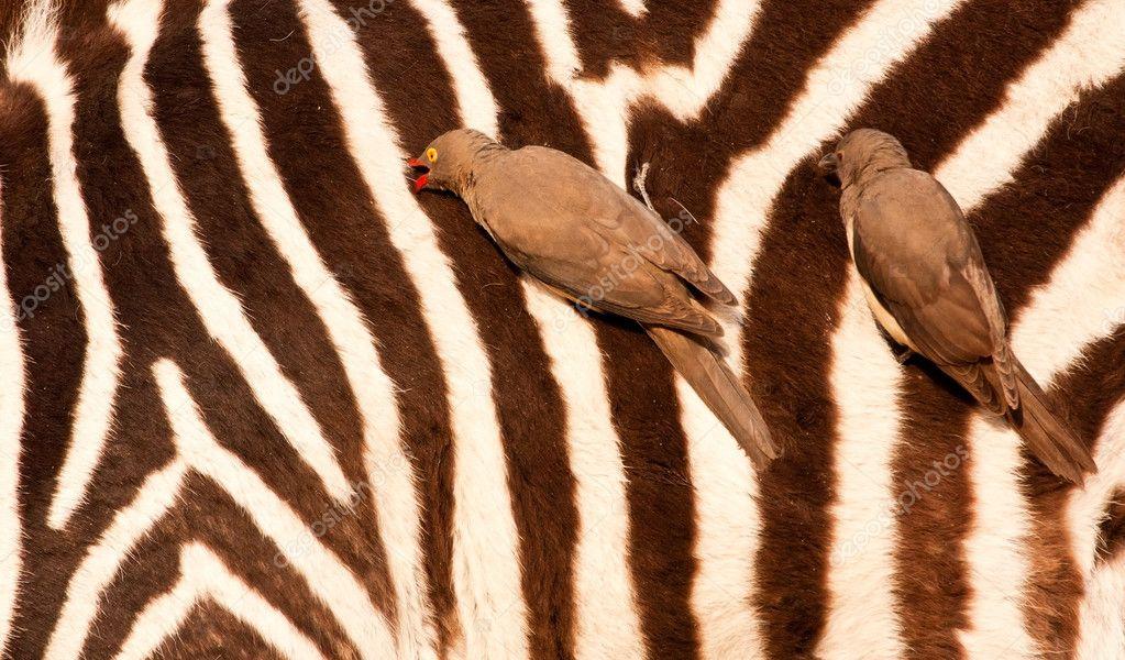 Redbilled-oxpeckers on zebra's body
