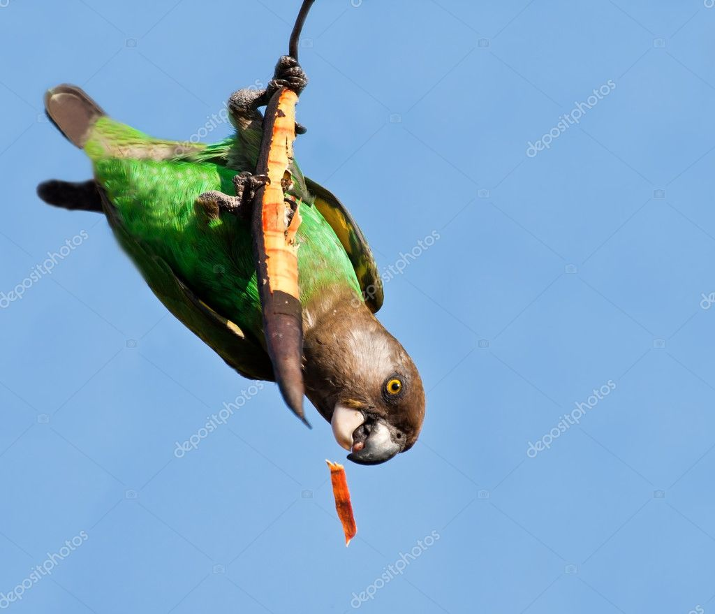Cape Parrot eating on a dry branch
