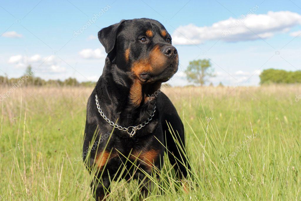 rottweiler dog images - HD2560×1600