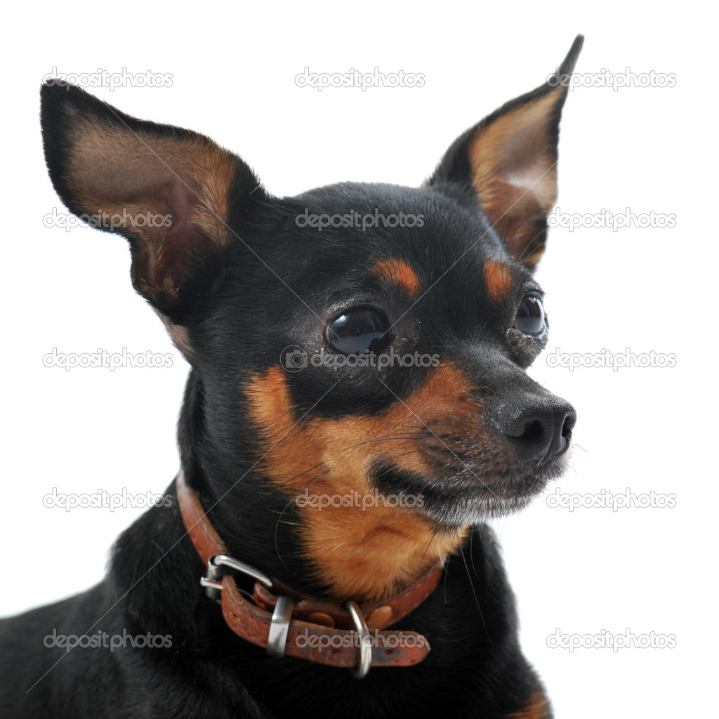 Áˆ Miniature Pinschers Stock Pictures Royalty Free Miniature Pinscher Images Download On Depositphotos