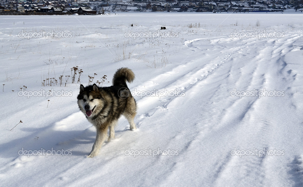 Laika - the general name of breeds