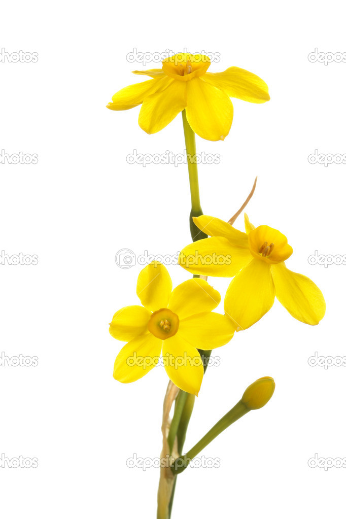 Stem Of Yellow Jonquil Flowers Against A White Background Stock Photo 10256051