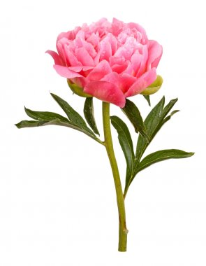 Pink peony flower, stem and leaves