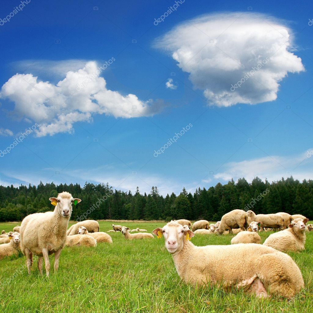 Herd Sheep on beautiful mountain meadow