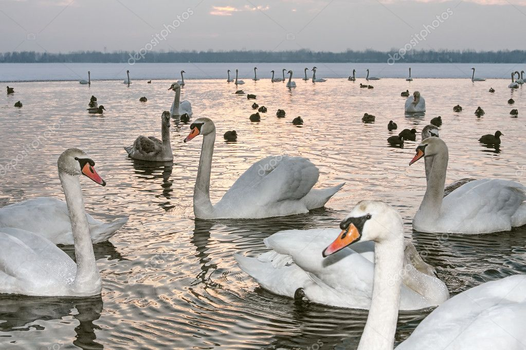 Swans on winter at sunset