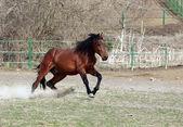stallone marrone
