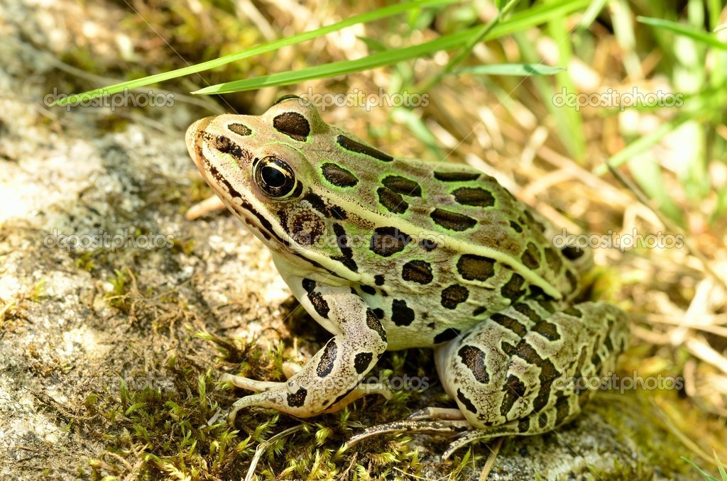 an introduction to the origins of leopard frog The northern leopard frog eats a wide variety of animals including ants, beetles, flies, worms, and smaller frogs using their large mouth, they can even swallow birds, and garter snakes reproduction: the northern leopard frog breeds between late april and early june in a wide array of habitats including marshes, ponds, lakes, ditches, and.