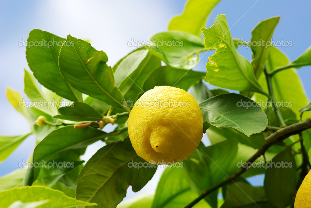 Yellow lemon on lemon tree.