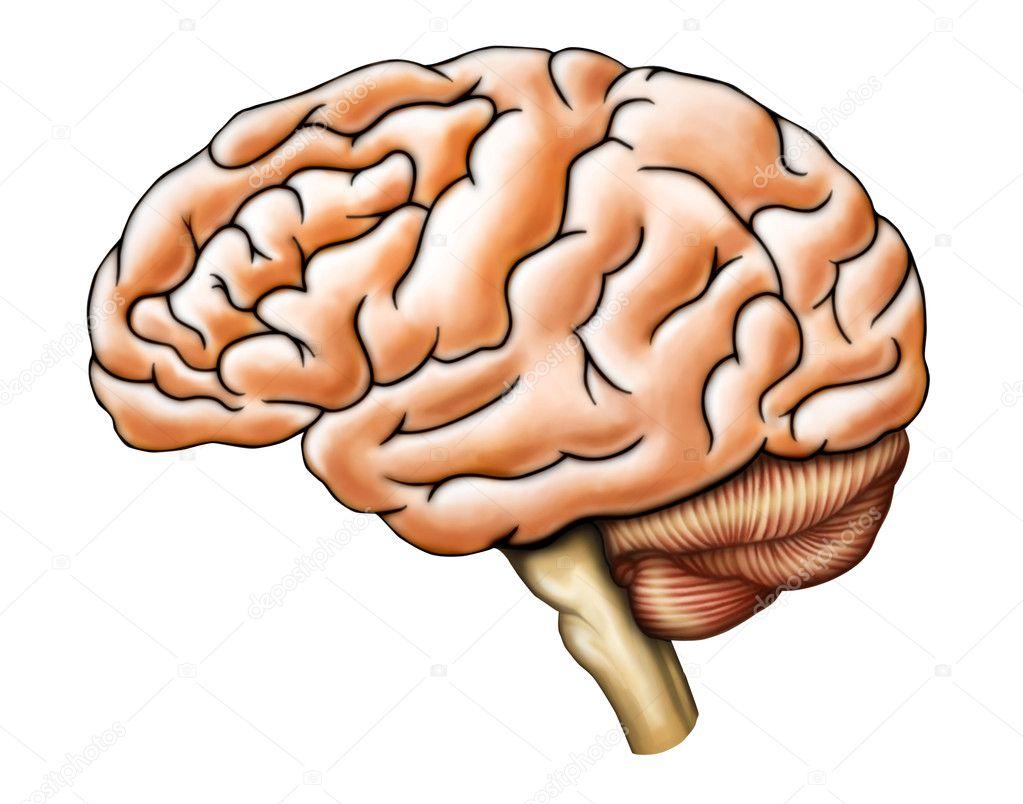 Gehirn-Anatomie — Stockfoto © Andreus #10049325
