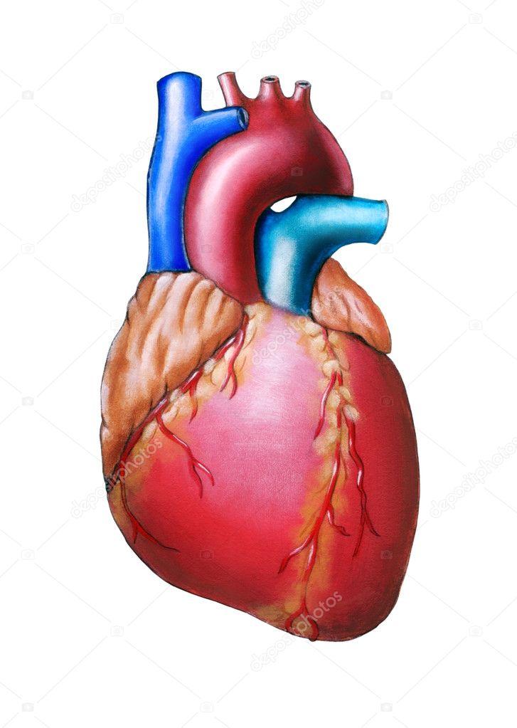 corazón humano — Fotos de Stock © Andreus #10075417